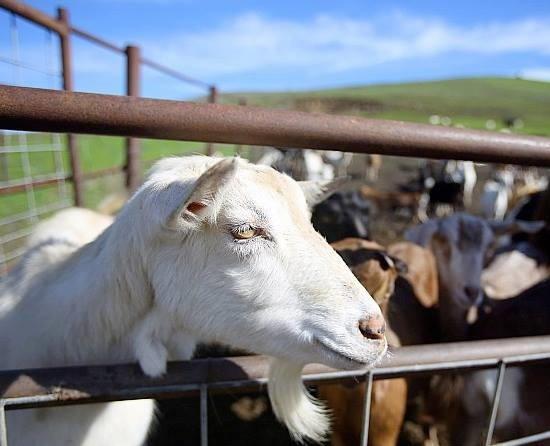 Achadinha Cheese Company (courtesy) - Dairy goats